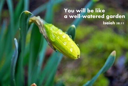 Isaiah 58.3 138943447-close-up-of-a-blooming-daffodil-in-the-garden-with-rain-drops